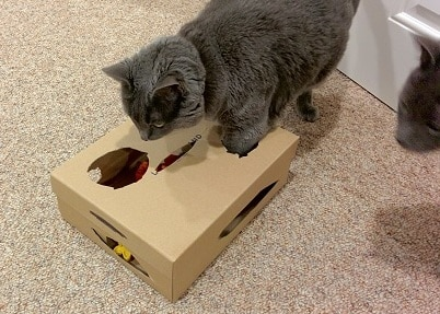 Gray cat plays with children's blocks in a shoebox with holes cut out form the top.