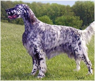 The English Setter Dog Breed