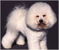 The Bichon Frise Dog Breed
